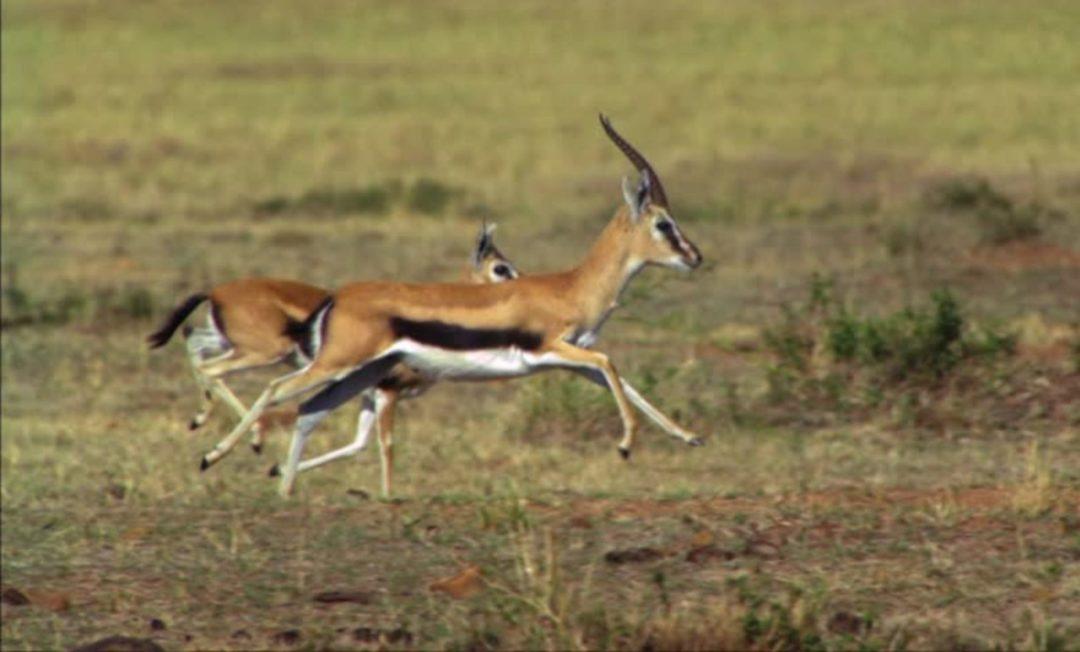 cropped-cropped-207151215-tansania-antilope-savanne-laufen-fortbewegen-1